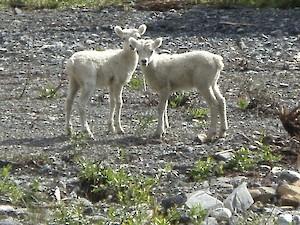 Lambs near the core shack
