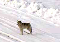 Wolf on Access Road
